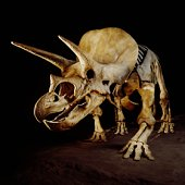 Triceratops skeleton, by Louis Psihoyos, from Getty Images